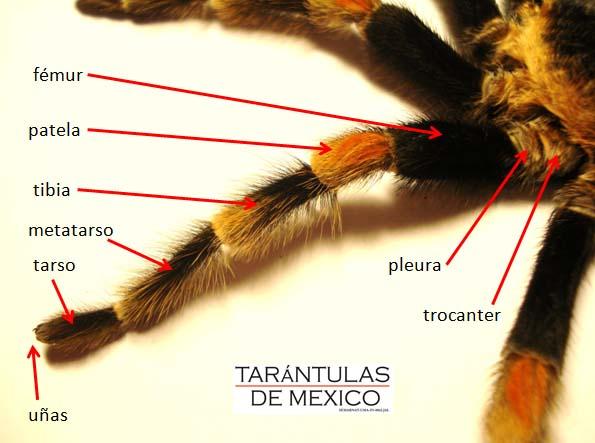 Tarántulas de México